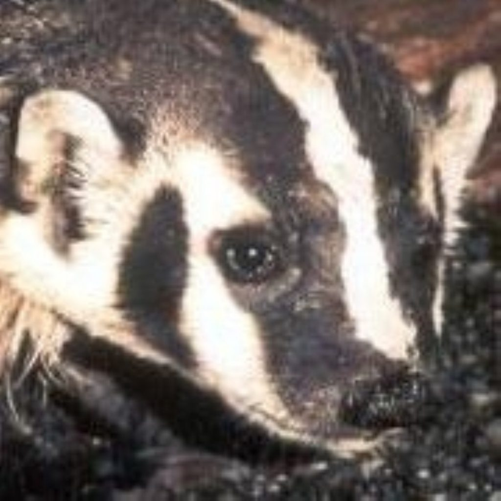 Badgers saved from cull, but MPs still not happy