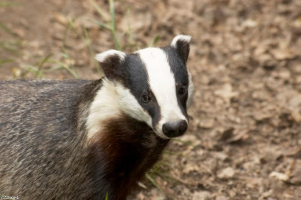In the gun sight? Government plans will allow farmer to cull badgers.