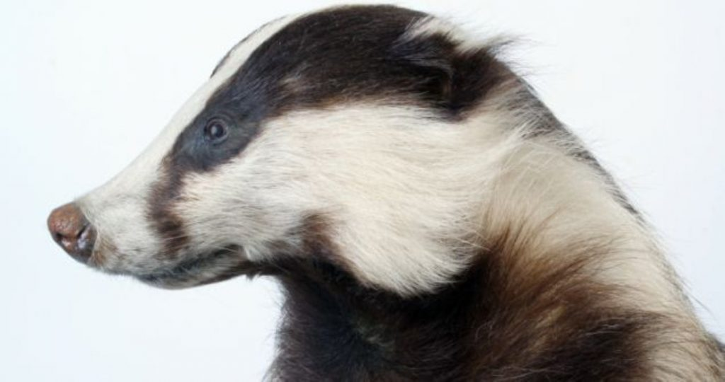Badger cull: numbers down, pilot under scrutiny