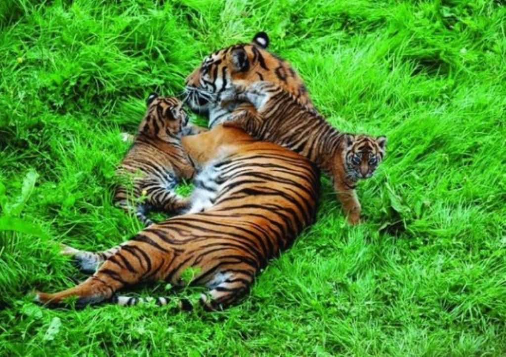 Tigers are said to display unusual behaviour when used in circuses