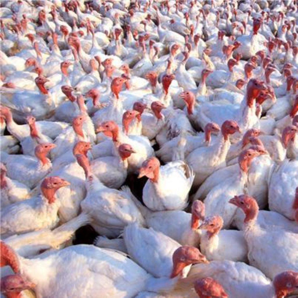 Turkeys culled on Suffolk farm after bird flu outbreak