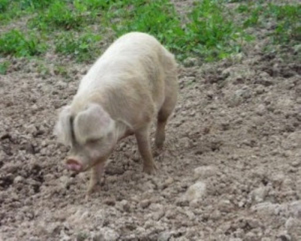 Pig farmers complain of falling pork prices