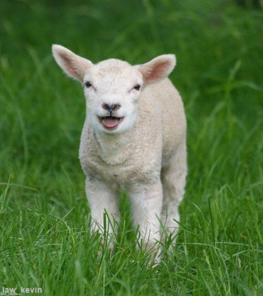 Pregnant? Avoid sheep