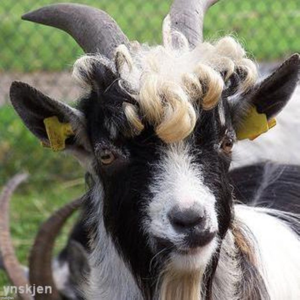 Did Brown fall for goats' glitter?