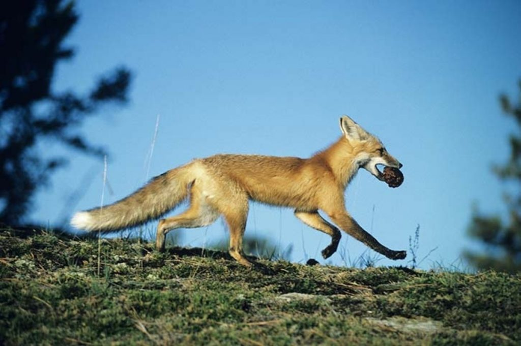 Off to fight another day: Fox-hunting vote delayed for EVEL purposes