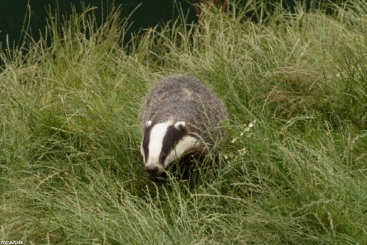 Badger cull pilots will take place annually for four years