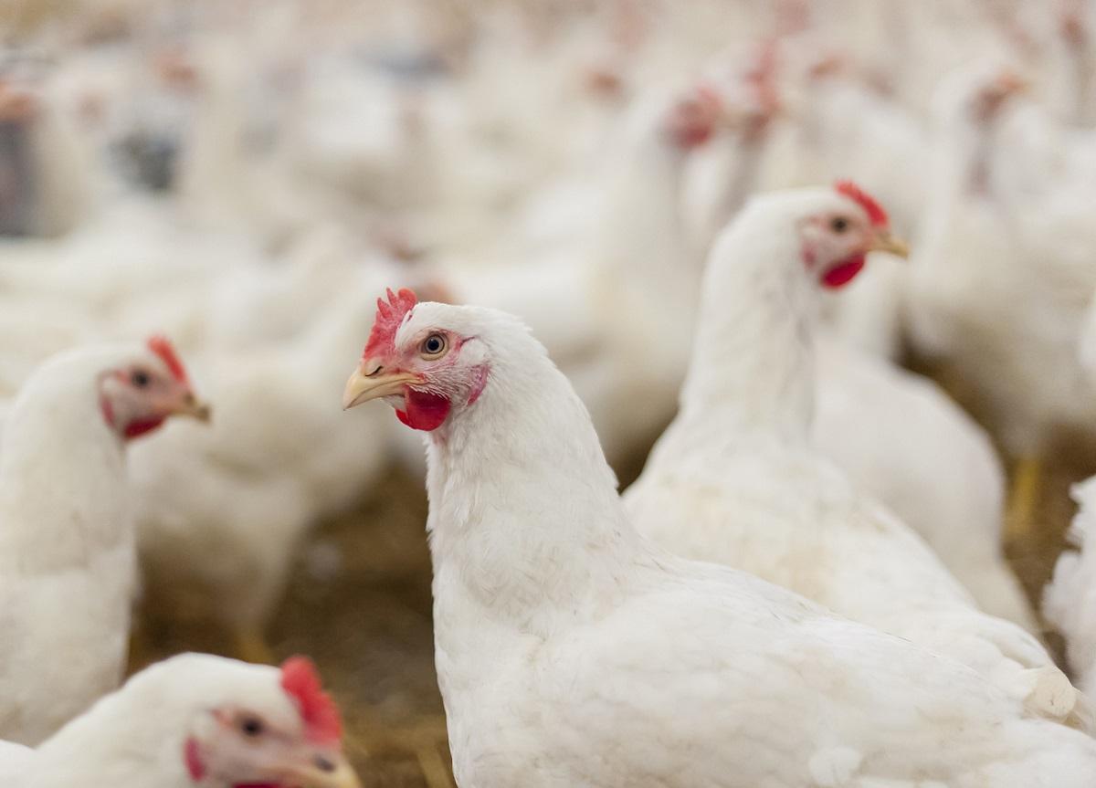 Hens in the henhouse